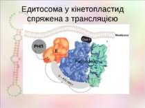 Едитосома у кінетопластид спряжена з трансляцією