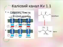 Калієвий канал Kv 1.1 ізолейцин валін