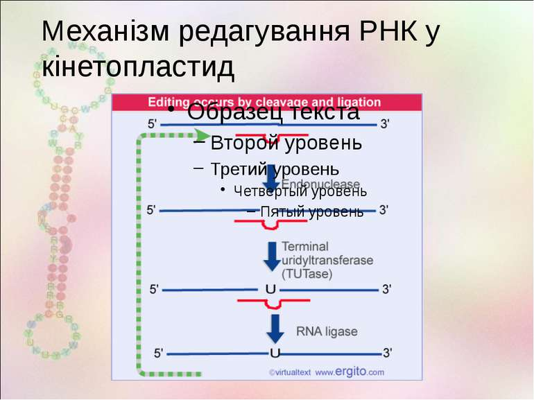 Механізм редагування РНК у кінетопластид