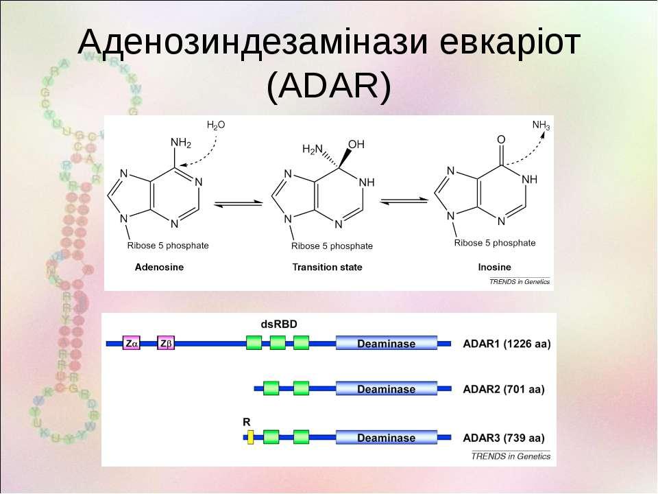 Аденозиндезамінази евкаріот (ADAR)