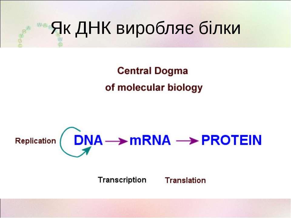 Як ДНК виробляє білки