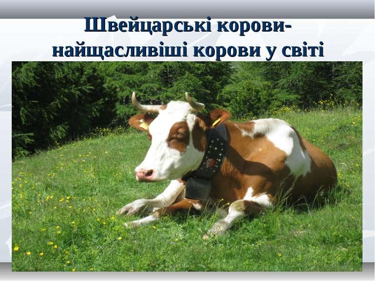 Швейцарські корови-найщасливіші корови у світі