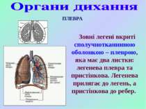 Зовні легені вкриті сполучнотканинною оболонкою – плеврою, яка має два листки...
