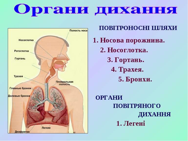 ПОВІТРОНОСНІ ШЛЯХИ 1. Носова порожнина. 2. Носоглотка. 3. Гортань. 4. Трахея....