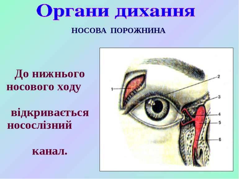 НОСОВА ПОРОЖНИНА До нижнього носового ходу відкривається носослізний канал.