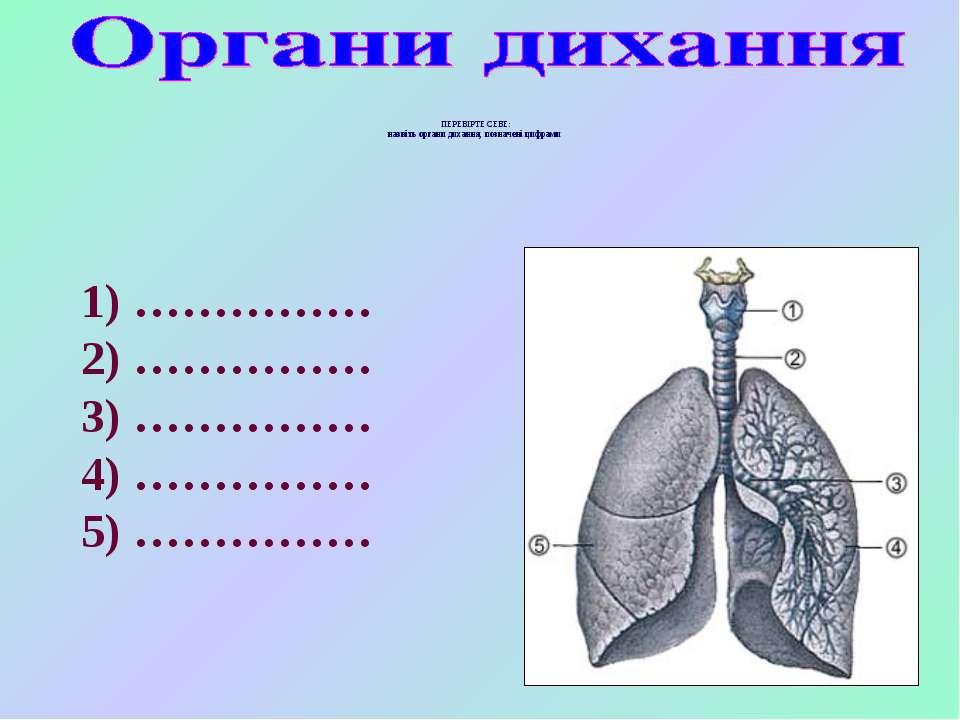 ПЕРЕВІРТЕ СЕБЕ: назвіть органи дихання, позначені цифрами 1) …………… 2) …………… 3...