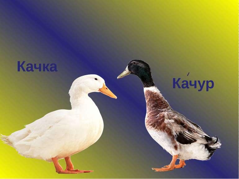 Качка Качур