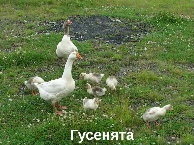 Гусенята Лазарева Лидия Андреевна, учитель начальных классов, Рижская основна...