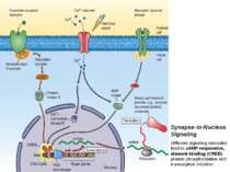 Synapse-to-Nucleus Signaling Different signaling cascades lead to cAMP-respon...