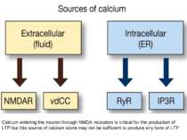 Calcium entering the neuron through NMDA receptors is critical for the produc...