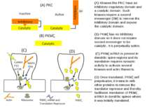 (A) Kinases like PKC have an inhibitory–regulatory domain and a catalytic dom...