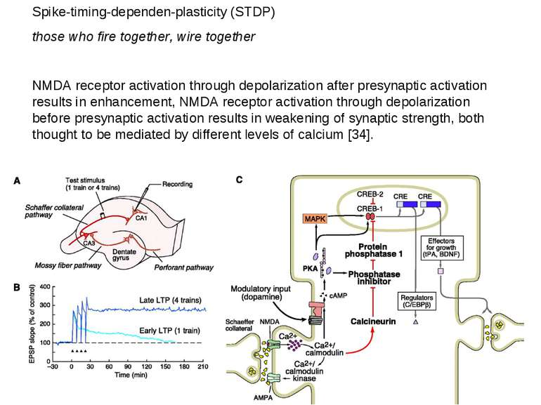Spike-timing-dependen-plasticity (STDP) those who fire together, wire togethe...