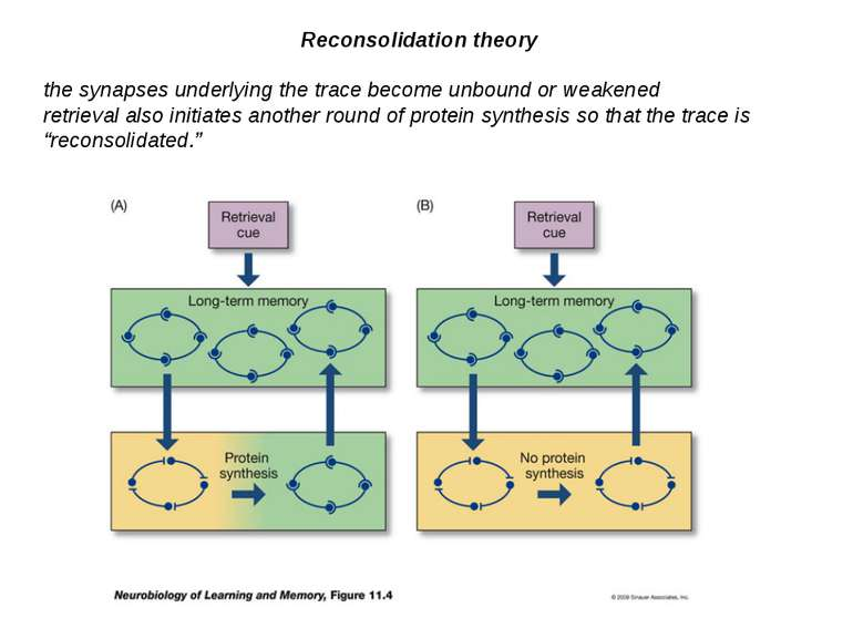 Reconsolidation theory the synapses underlying the trace become unbound or we...
