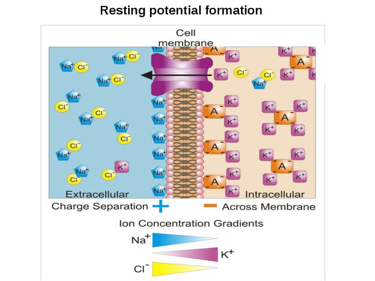 Resting potential formation