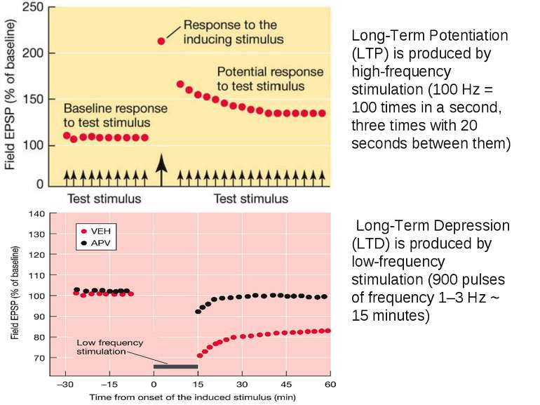 Long-Term Potentiation (LTP) is produced by high-frequency stimulation (100 H...