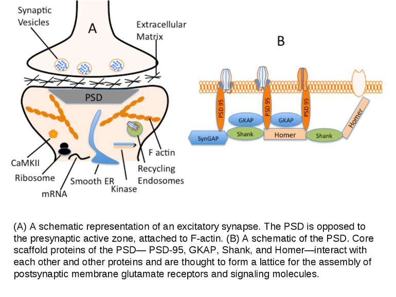 (A) A schematic representation of an excitatory synapse. The PSD is opposed t...
