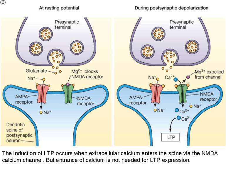 The induction of LTP occurs when extracellular calcium enters the spine via t...