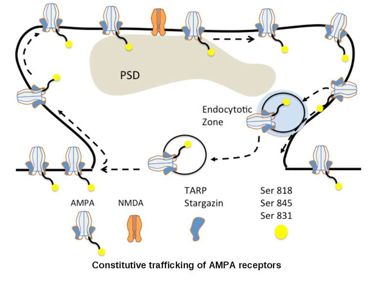 Constitutive trafficking of AMPA receptors