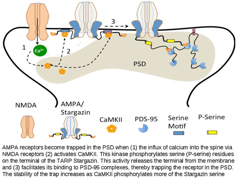 AMPA receptors become trapped in the PSD when (1) the influx of calcium into ...
