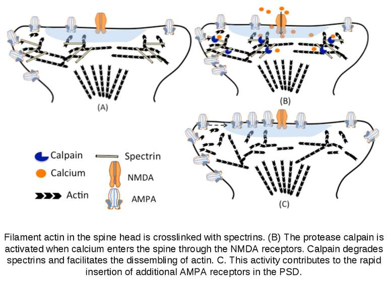 Filament actin in the spine head is crosslinked with spectrins. (B) The prote...