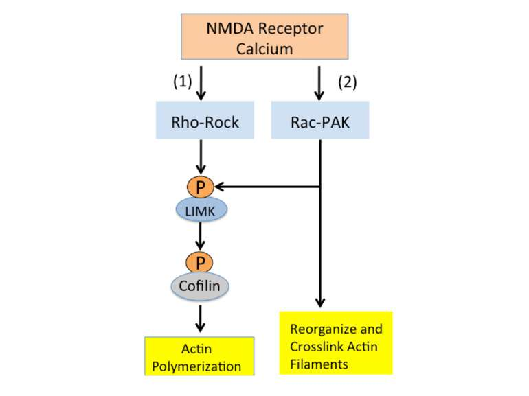 Calcium entering the synapse through NMDA receptors activates two signaling c...