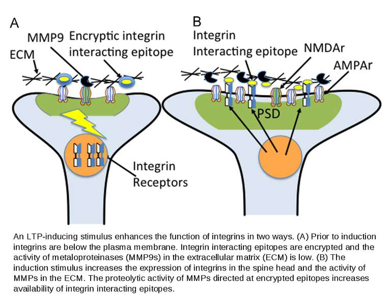 An LTP-inducing stimulus enhances the function of integrins in two ways. (A) ...