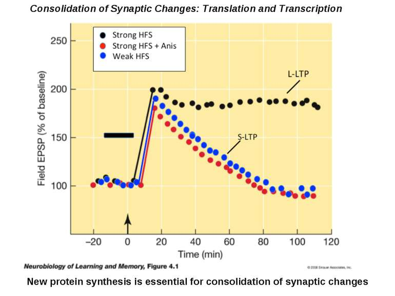 Consolidation of Synaptic Changes: Translation and Transcription New protein ...