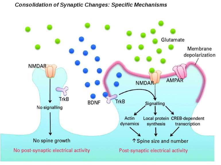 Consolidation of Synaptic Changes: Specific Mechanisms The dendritic spine re...