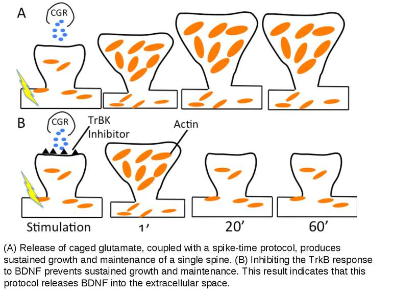 (A) Release of caged glutamate, coupled with a spike-time protocol, produces ...