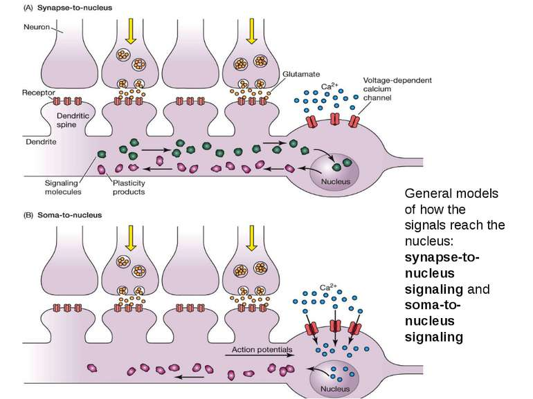General models of how the signals reach the nucleus: synapse-to-nucleus signa...