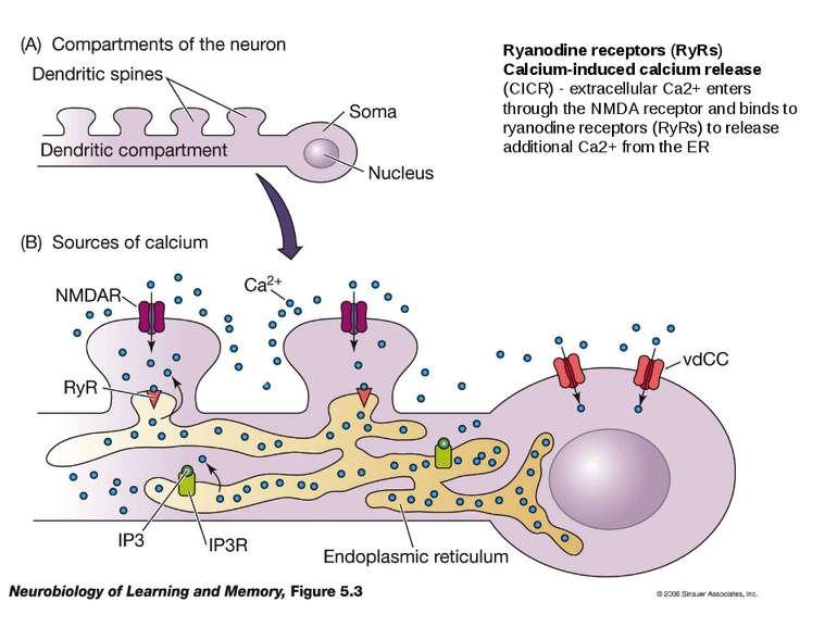 Ryanodine receptors (RyRs) Calcium-induced calcium release (CICR) - extracell...