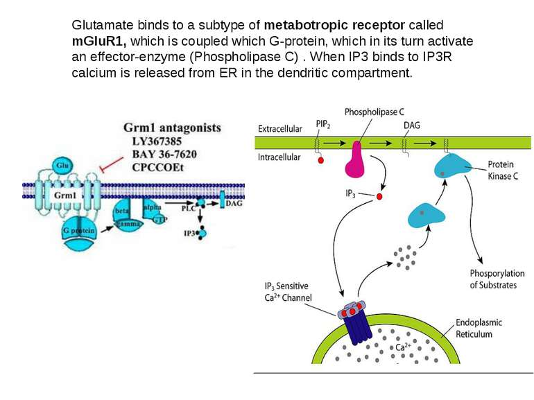 Glutamate binds to a subtype of metabotropic receptor called mGluR1, which is...