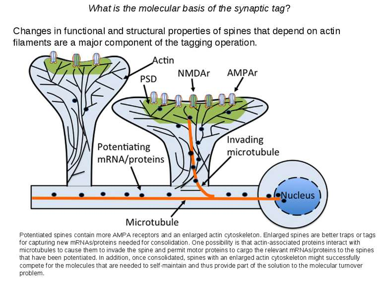 What is the molecular basis of the synaptic tag? Changes in functional and st...
