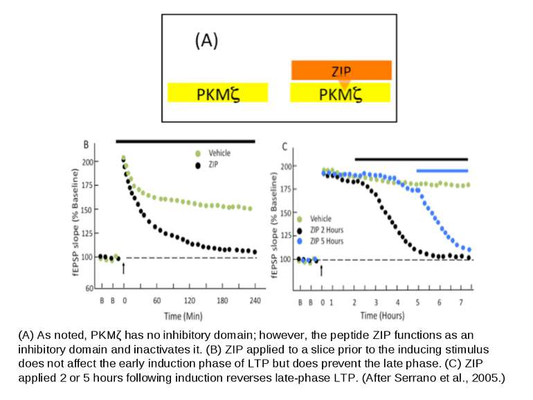 (A) As noted, PKMζ has no inhibitory domain; however, the peptide ZIP functio...