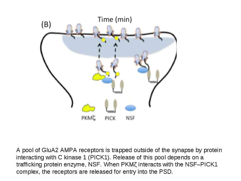 A pool of GluA2 AMPA receptors is trapped outside of the synapse by protein i...