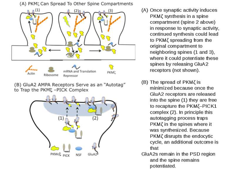 Once synaptic activity induces PKMζ synthesis in a spine compartment (spine 2...