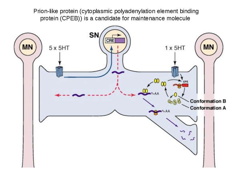 The newly synthesized CPEBs (conformation A) are the inactive conformational ...