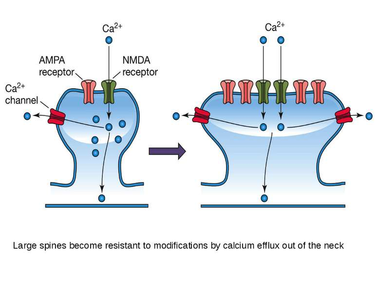 Large spines become resistant to modifications by calcium efflux out of the neck