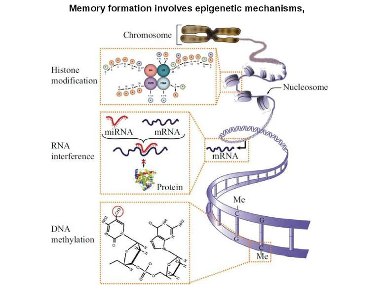 Memory formation involves epigenetic mechanisms,
