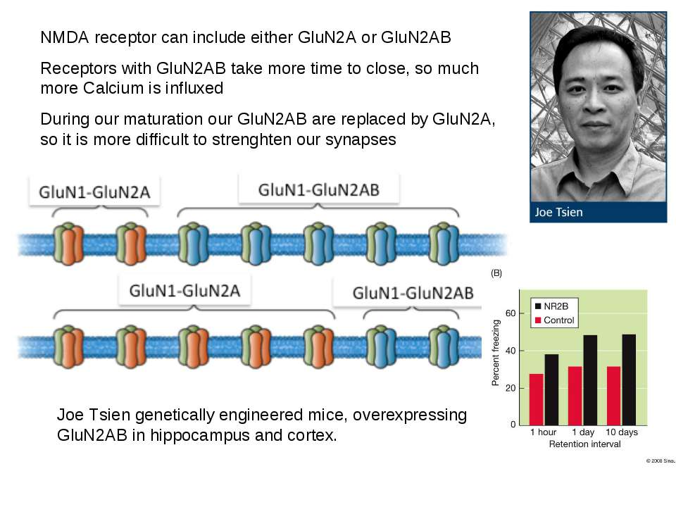 NMDA receptor can include either GluN2A or GluN2AB Receptors with GluN2AB tak...