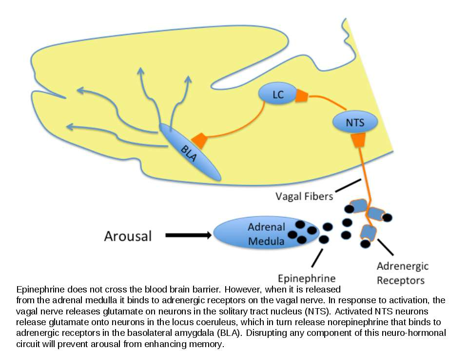 Epinephrine does not cross the blood brain barrier. However, when it is relea...
