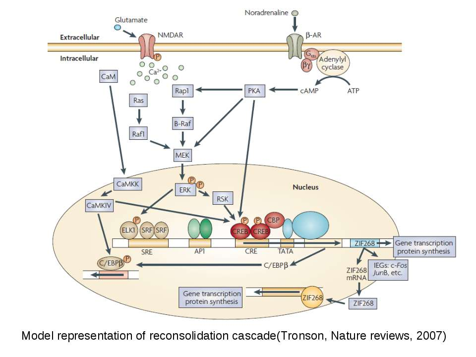 Model representation of reconsolidation cascade(Tronson, Nature reviews, 2007)
