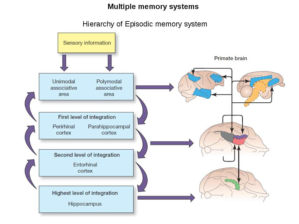 Multiple memory systems Hierarchy of Episodic memory system