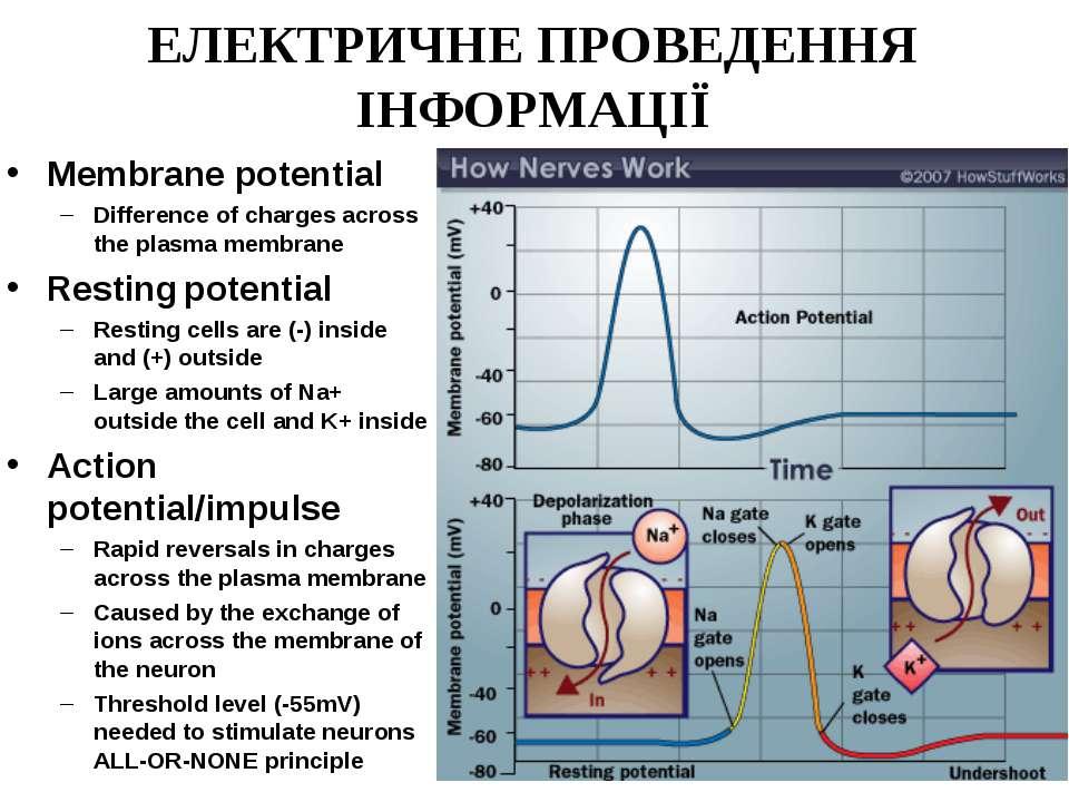 ЕЛЕКТРИЧНЕ ПРОВЕДЕННЯ ІНФОРМАЦІЇ Membrane potential Difference of charges acr...