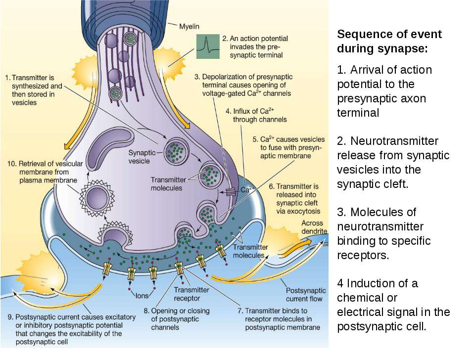 Sequence of event during synapse: 1. Arrival of action potential to the presy...
