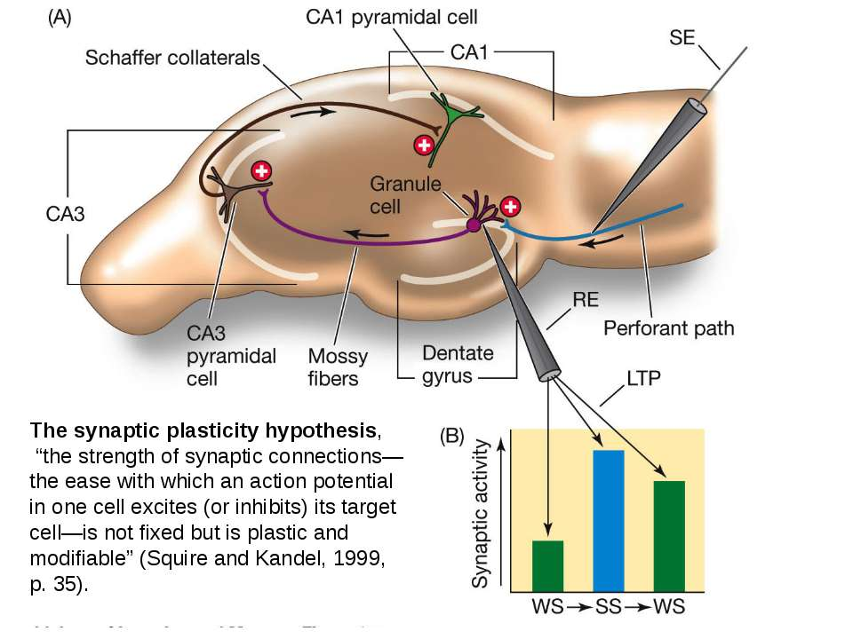 "The synaptic plasticity hypothesis, ""the strength of synaptic connections—the..."
