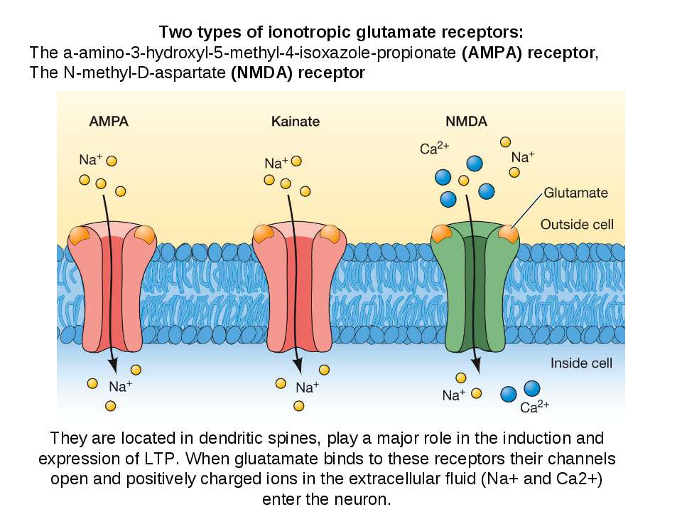 Two types of ionotropic glutamate receptors: The a-amino-3-hydroxyl-5-methyl-...