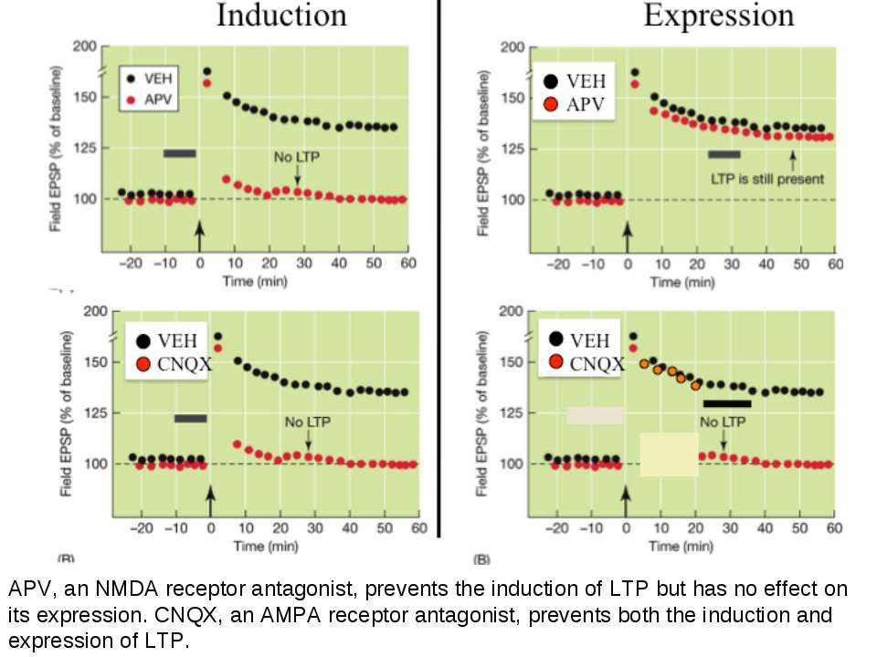 APV, an NMDA receptor antagonist, prevents the induction of LTP but has no ef...
