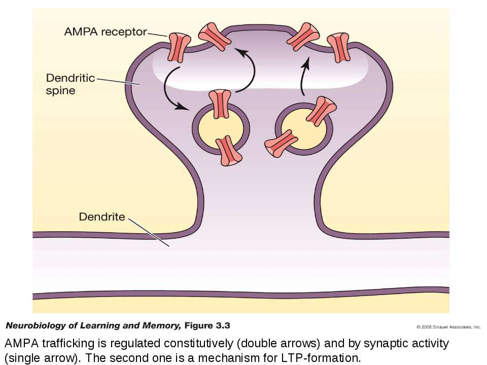 AMPA trafficking is regulated constitutively (double arrows) and by synaptic ...