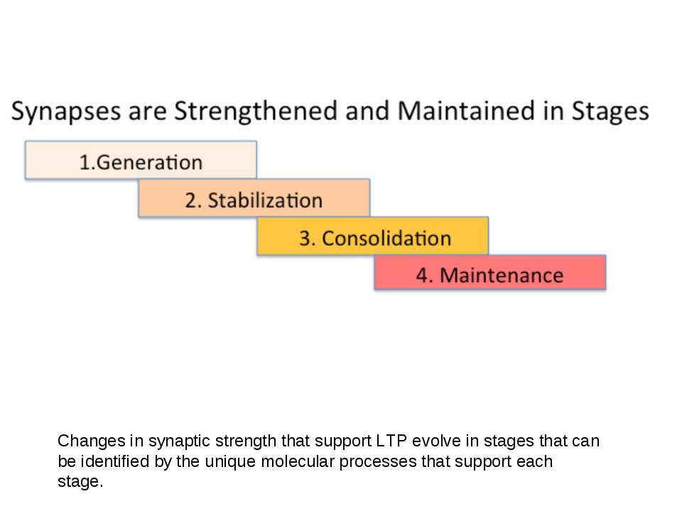 Changes in synaptic strength that support LTP evolve in stages that can be id...